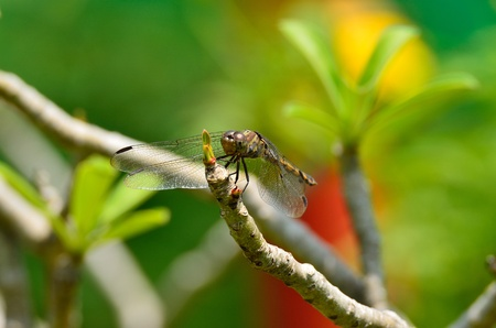 Yellow-winged Darter  photo
