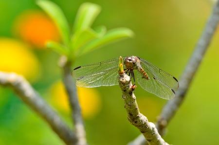 Yellow-winged Darter Stock Photo - 12973772