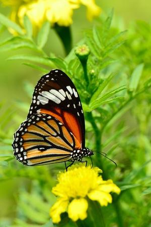mariposas amarillas: Mariposa Monarca en un girasol mexicano Foto de archivo