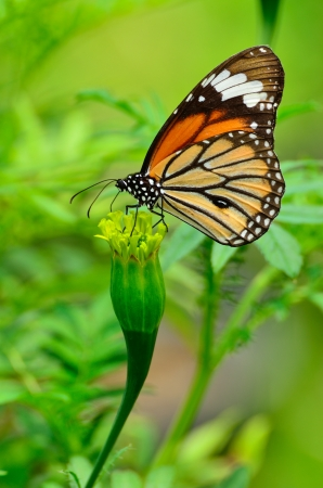 giant sunflower: Monarch Butterfly on a Mexican Sunflower  Stock Photo