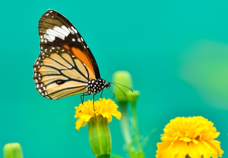 Monarch Butterfly on a Mexican Sunflower  Stock Photo