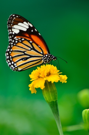 Monarch Butterfly on a Tournesol mexicain Banque d'images