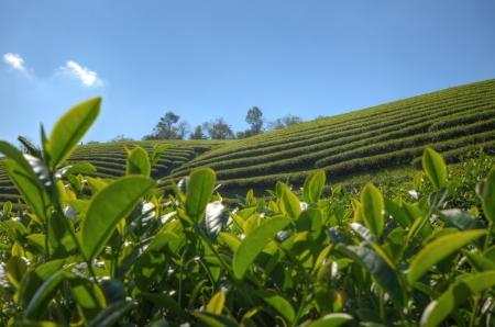 Tea Plantation at  Doi Mae Salong  in chiang rai northern Thailand  HDR  photo