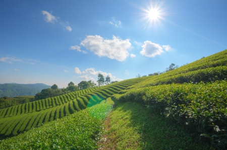 Tea Plantation at  Doi Mae Salong  in chiang rai northern Thailand  HDR