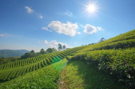 Tea Plantation at  Doi Mae Salong  in chiang rai northern Thailand  HDR