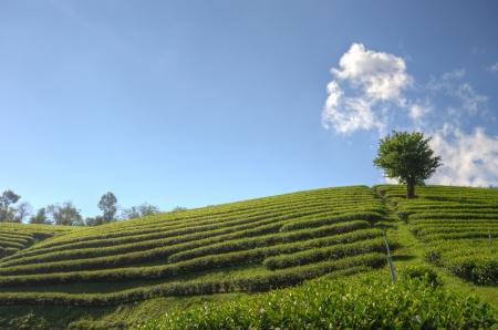 dynamic growth: Tea Plantation at  Doi Mae Salong  in chiang rai northern Thailand  HDR