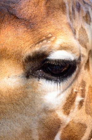 face of a giraffe photo