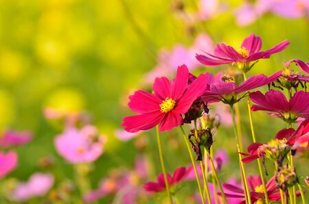 Cosmos flowers in the garden photo