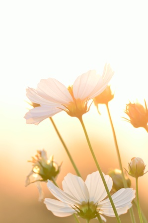 Cosmos flower at Sunset photo