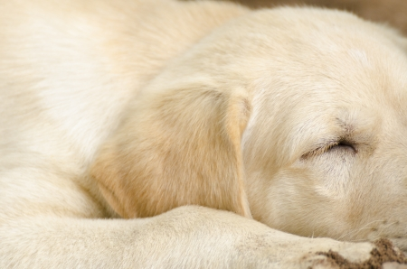 Yellow Labrador Retriever portrait  Stock Photo