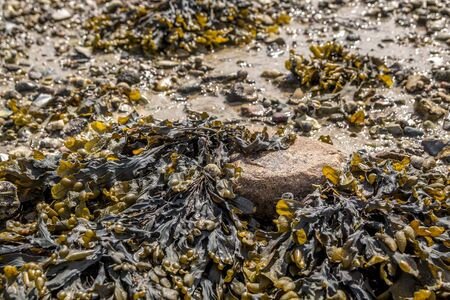 Closeup of colorful Bladder Wrack (Fucus vesiculosus) at low tide on a sunny day.