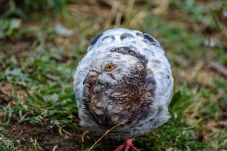 beak pigeon: Portrait of a very special pigeon