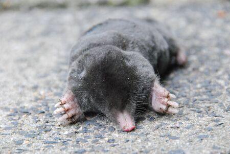 animal mole: mole