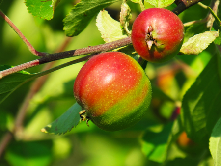 immature: The immature apples on a branch in the sun