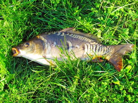 grass carp: Living mirror carp in the sun on the green grass