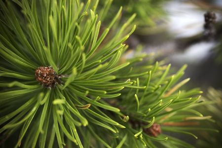 The branch of an evergreen tree with running water in the background Stock Photo