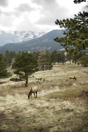 A group of elk camouflaged by the winter landscape.  Stock Photo