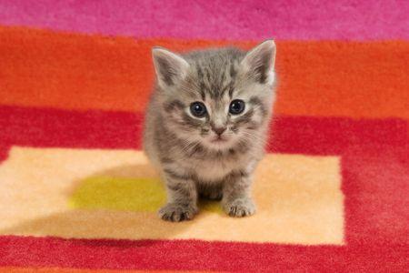 Tiny kitten on rug