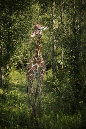 A giraffe camouflaged by the surrounding trees Imagens - 6478109