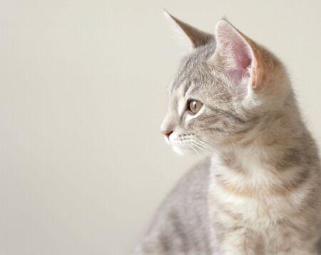 gray cat: Gray cat on gray background Stock Photo
