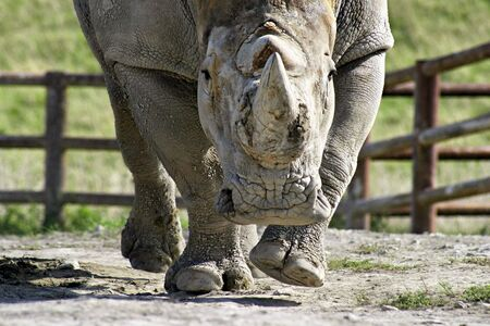 wildlife conservation: A charging rhinoceros in a wildlife conservation refuge
