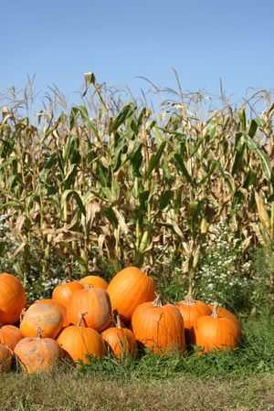 harvest time: Corn shocks and pumpkins embody harvest time in Ohio Stock Photo