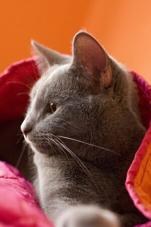 bedspread: A gray cat snuggled in orange and pink blankets