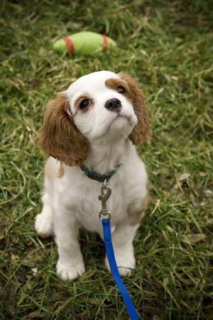 Adorable cocker spaniel puppy begging for a treat Stock Photo