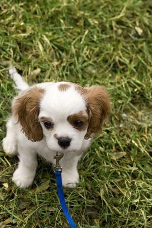 Adorable cocker spaniel looking tiny in field of grass photo