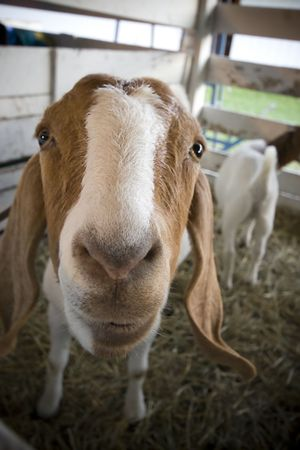 A goat on display at a county fair
