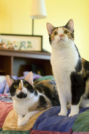 bedspread: Twin calico cats looking expectantly for treats Stock Photo