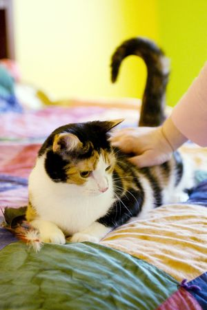 bedspread: A calico cat being pet on a colorful bedspread Stock Photo