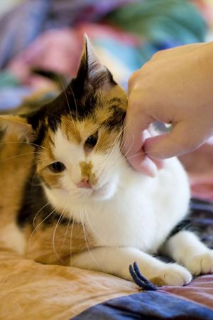 bedspread: An adorable calico cat being pet on the side of the face
