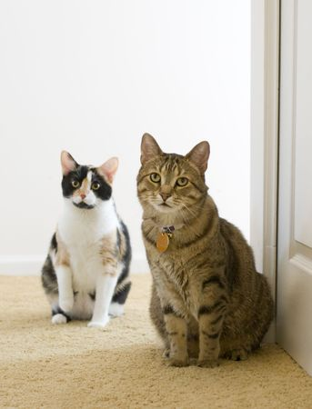 calico: Two indoor kitties looking down a long hallway