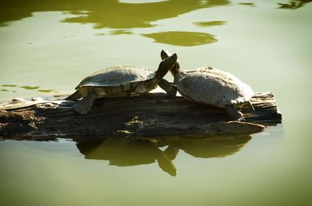 Two turtles face-to-face on driftwood in pond photo
