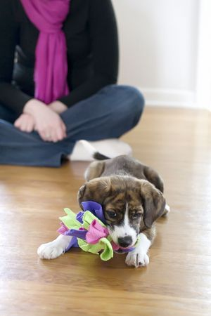 Mountain Feist and Beagle mixed breed puppy playing with toy Stock Photo