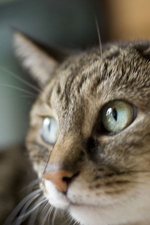 looking away from camera: An elderly cat with vibrant green eyes looking away from camera