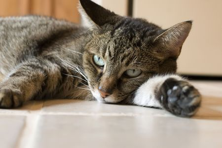 A tabby cat with green eyes sprawled out on floor Stock Photo