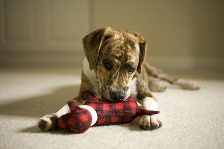 perros jugando: Feist de monta�a y Beagle mezclan cachorro jugando con un perro de peluche