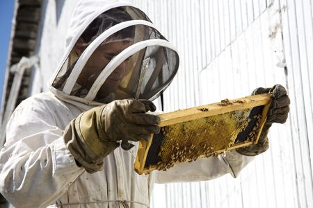 moveable: Beekeeper looking at hive frame