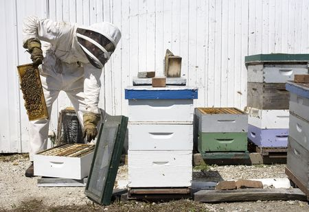moveable: Beekeeper working with moveable comb hives