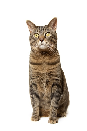 Brown Tiger Cat Sitting Tall Stock Photo