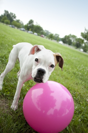 medium size: dog playing with pink ball Stock Photo