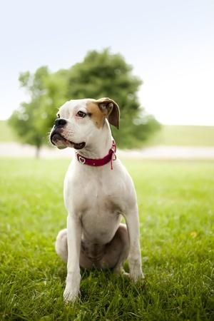 sitting area: Boxer puppy portrait