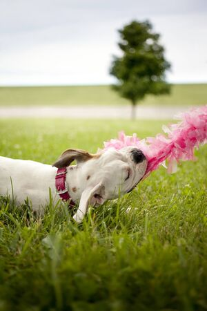 misbehave: dog pulling on pink boa Stock Photo