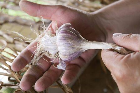freshly picked: Freshly Picked Garlic