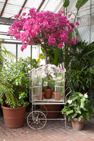 bougainvilleas: pink flowering bougainvilleas tree over the white cage carriage Stock Photo