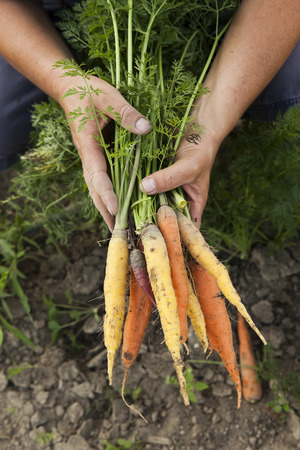 heirloom: Harvesting Multicolored Heirloom Carrots