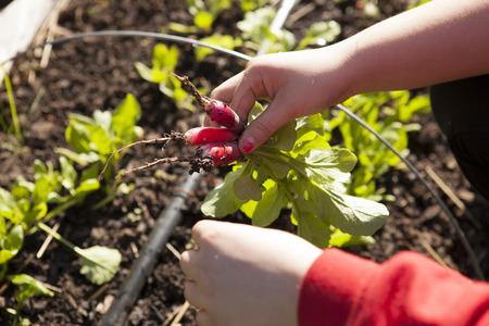 radishes: Picking Radishes