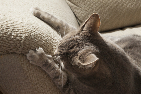 gray cat: cat ruining couch with claws